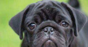 Il tuo cane preme la testa contro il muro?