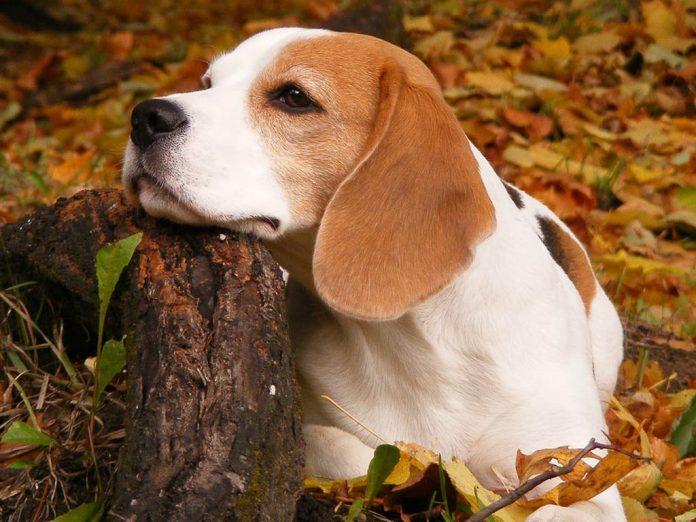 Beagle: carattere, allevamenti e prezzo