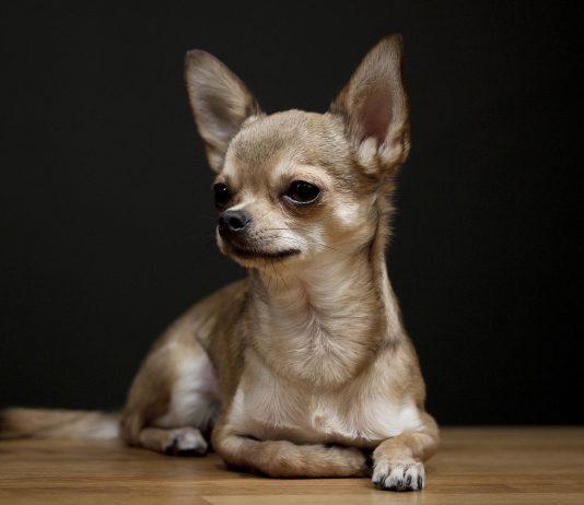 Chihuahua: carattere, prezzo, allevamenti