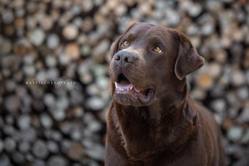 Labrador Retriever: carattere e prezzo