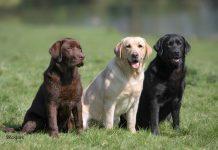 Labrador Retriever: carattere, allevamenti e prezzo